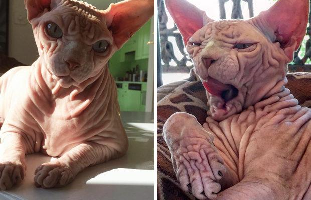 Сердитый голый кот – восходящая звезда Сети