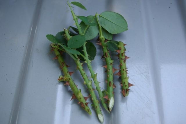 САД, ЦВЕТНИК И ОГОРОД. Выращиваем розы из осенних черенков