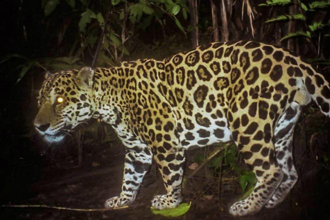 Гигантская выдра показала двум ягуарам, кто тут главный