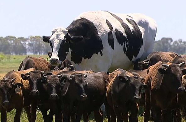 Австралийский фермер показал самого огромного быка на континенте