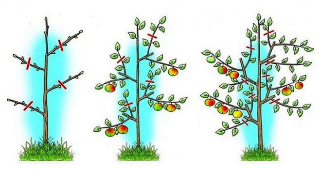 обрезка молодых яблонь весной