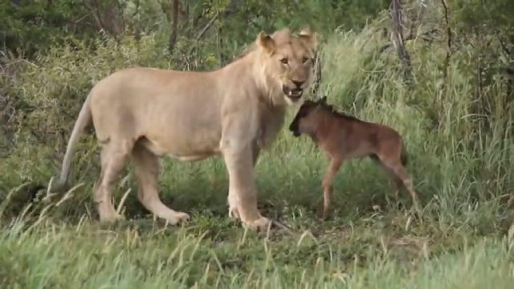 Дикий лев защищает маленького телёнка. Туристы засняли удивительные кадры