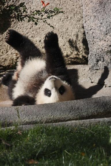Малыш панды делает первые шаги: видео