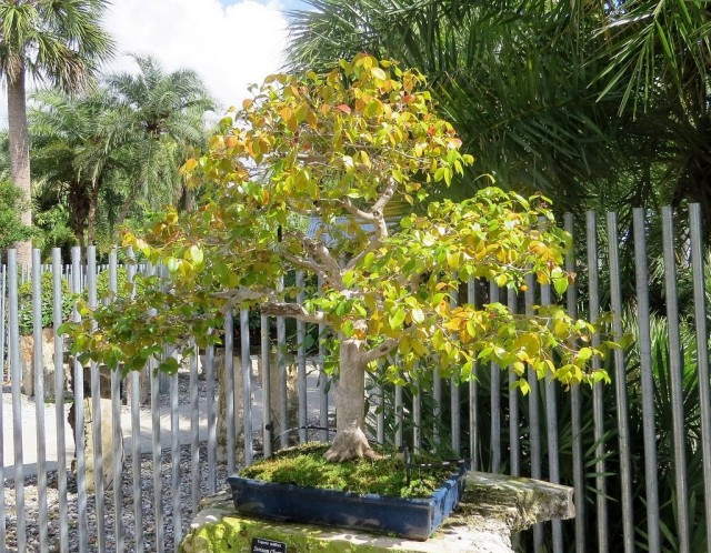 Прекрасная Евгения — изящная и скромная суринамская вишня