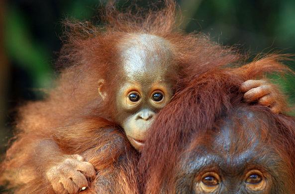 Обезьяний тест на отцовство удивил зоологов