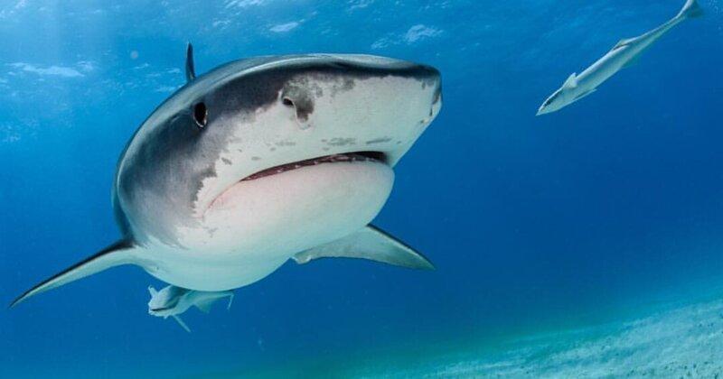 Ученым удалось установить, кто является самой необычной жертвой тигровых акул Galeocerdo cuvier, акулы, животные, исследования, океан, пища акул