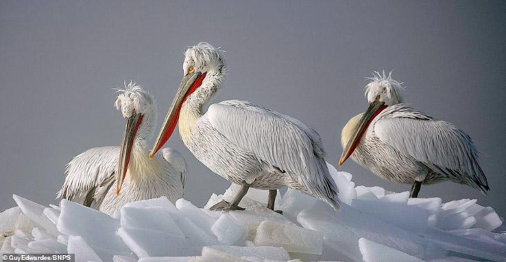 Пеликаны в фотографиях