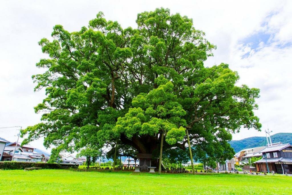 Камфорное масло - продукт, получаемый при переработке древесины тропического дерева