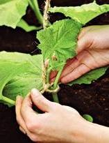 Чтобы растение могло виться, Аккуратно подвяжите рассаду к..