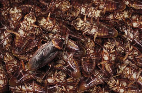 Китайцы опасаются нашествия «супер-тараканов»