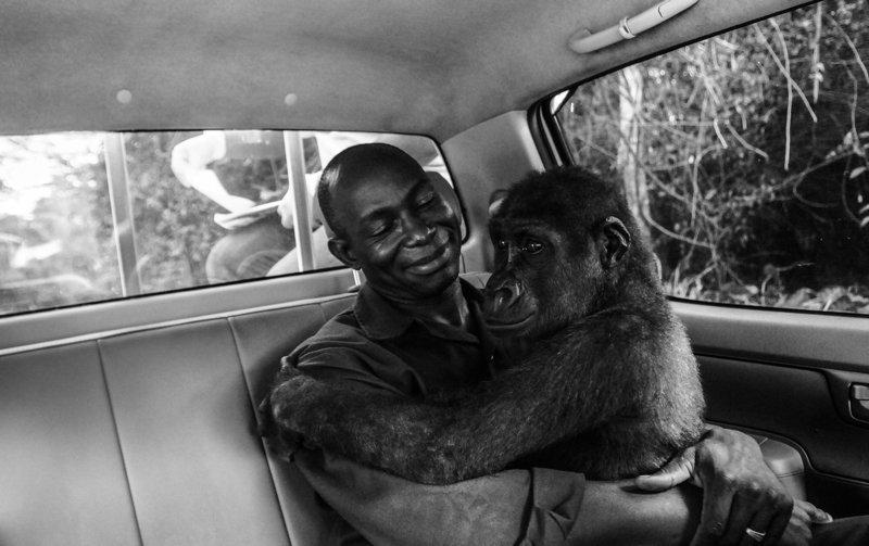 Фотография гориллы, обнимающ…