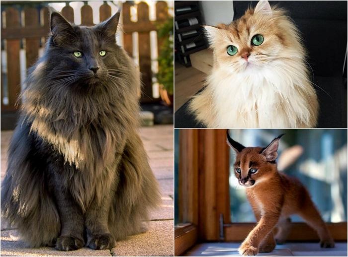 Пушистое чудо.  Фотографии невероятно красивых котов со всего мира