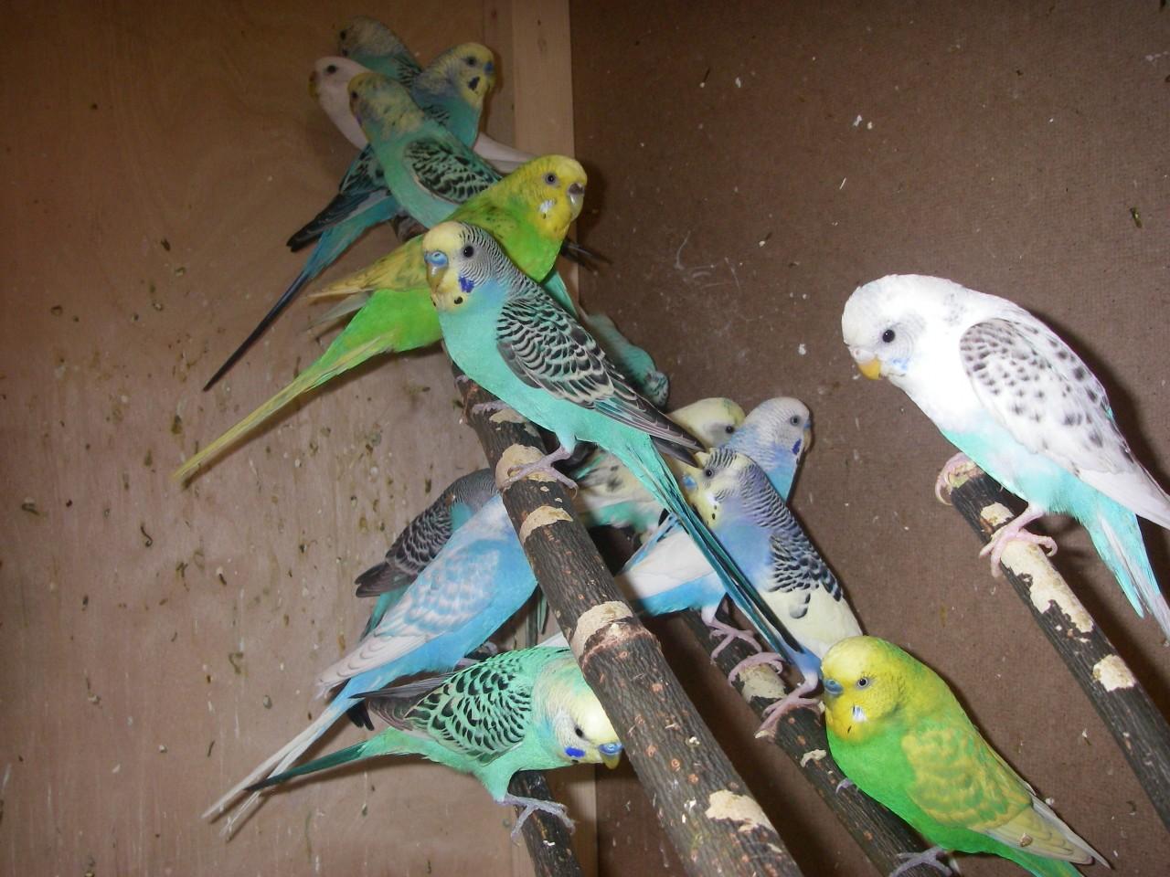 Волнистые попугаи и канарейки
