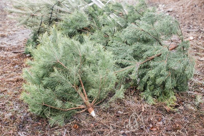 Что делать с новогодней елкой после праздников