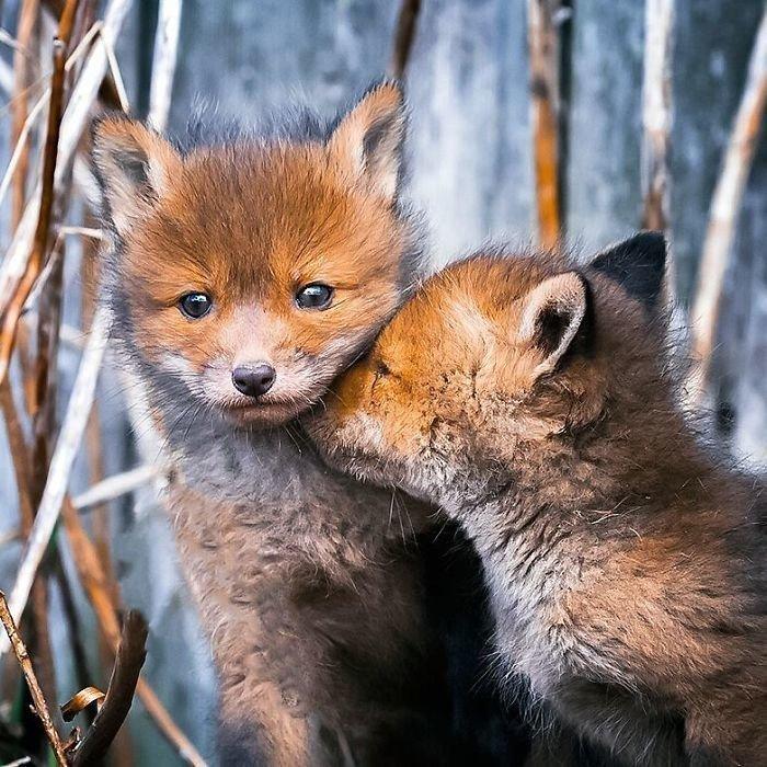 Лисицы из Финляндии: лесная сказка