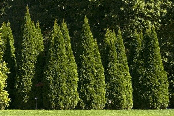 Как выращивать туи, чтобы их красотой смог гордиться Ваш сад?