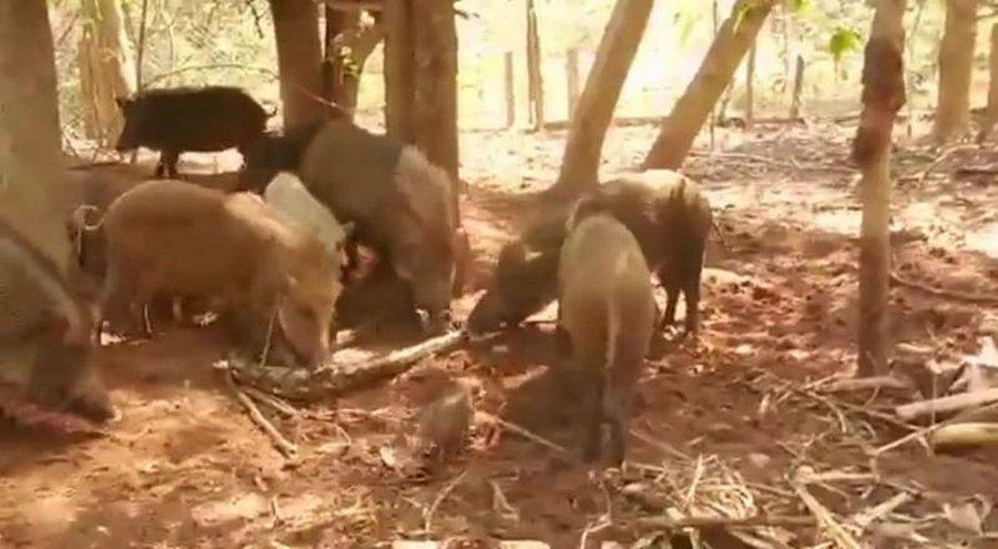 Кабаны-родители растерзали питона, который съел их поросенка