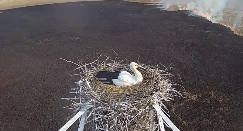 Самка аиста не покинула своё гнездо во время пожара