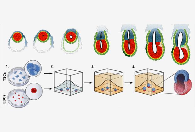 Создан первый искусственный эмбрион мыши из стволовых клеток