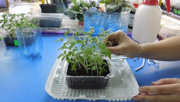 Супер-метод выращивания томатов. Рассада растет в 2 раза быстрее!