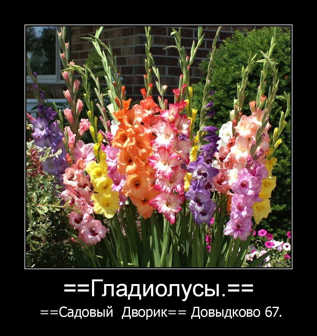 Клумбы с гладиолусами и другими цветами фото и