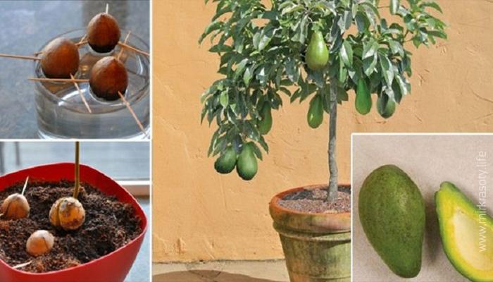 Выращиваем авокадо из косточки у себя дома. Супер-идея!
