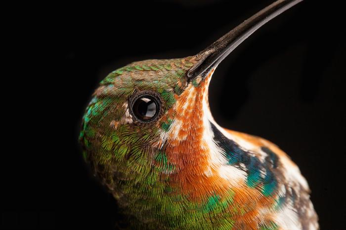Макросъемка колибри птицы, колибри, макросъемка, макро, Перья, орнитология, макрофотография, длиннопост