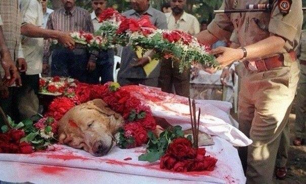 Собака по кличке Zanjeer спасала тысячи жизней (фото)