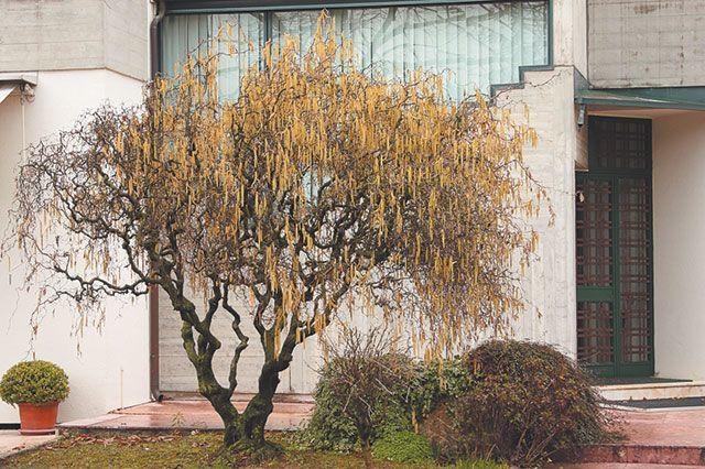 Графика ветвей. Как украшают сад лиственные деревья зимой