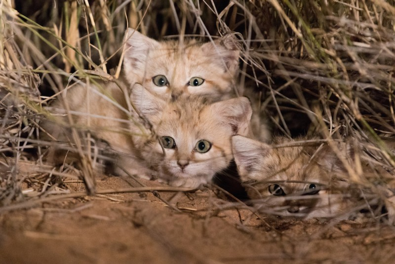 Котят Барханной кошки впервые засняли в дикой природе