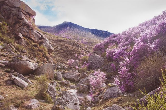 Алтайское чудо. Через неделю зацветёт маральник