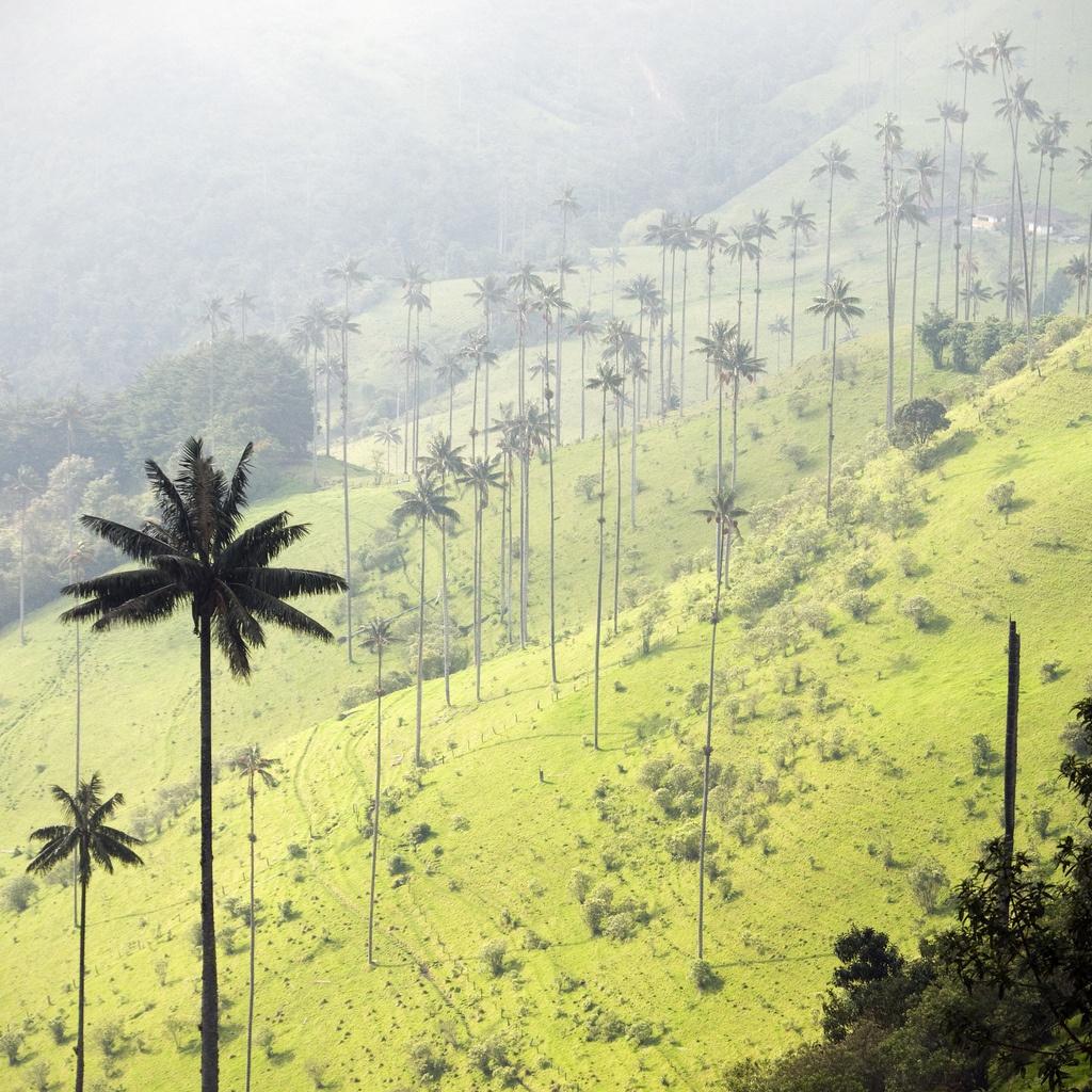 Самая высокая пальма в мире