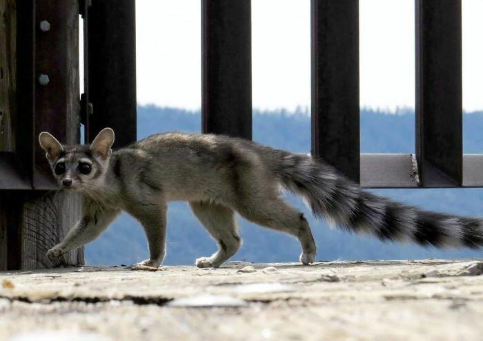 Какомицли - очаровательный зверек, о котором вы никогда не слышали-27 фото-
