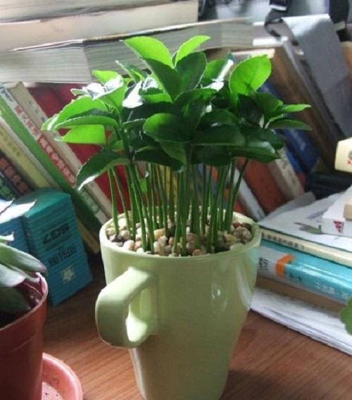 Как вырастить лимон в чашке: руководство для всех