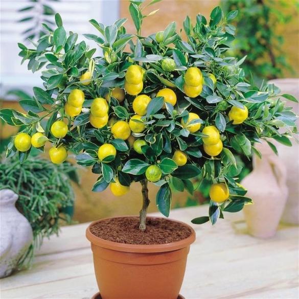 Прививка комнатного лимона, мандарина и других цитрусовых