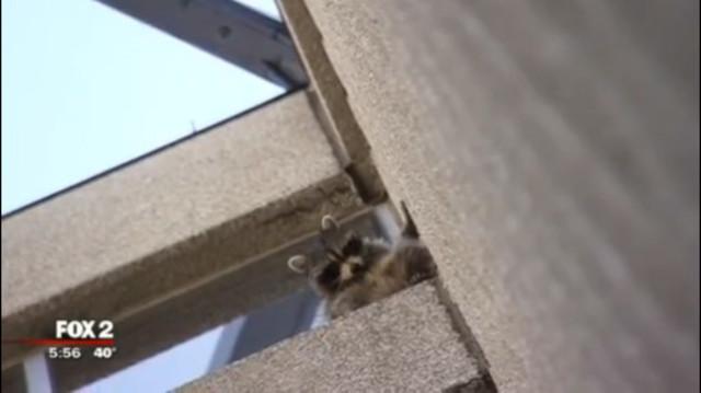«Привет, а у вас печеньки есть?» Енот в поисках еды забрался на 6-й этаж офисного здания!
