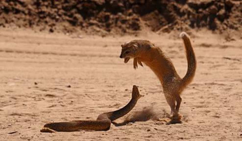 кого ловят мангусты