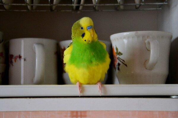 Залетевший в квартиру через открытую форточку волнистый попугай отогрелся и заговорил