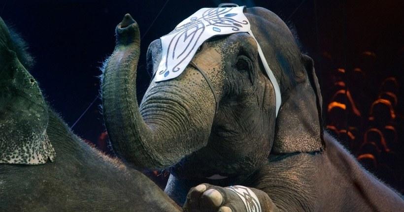 Дания выделила 1,6 миллиона долларов на «пенсию» последним четырем цирковым слонам