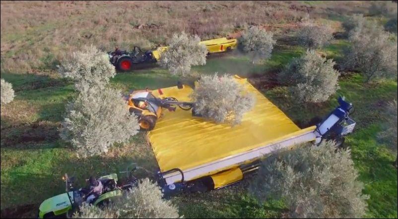 Как собирают урожай оливок