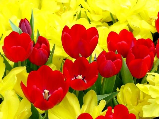 Красивые цветы тюльпаны!