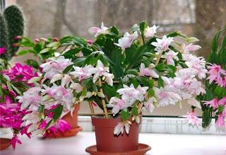 Секрет роскошного комнатного цветника