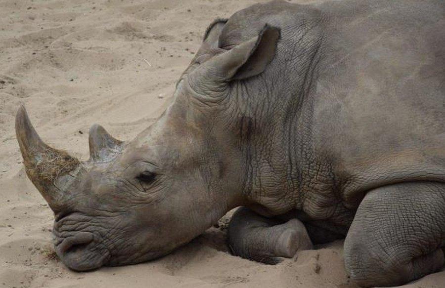 Французские туристы нацарапали свои имена на спине носорога