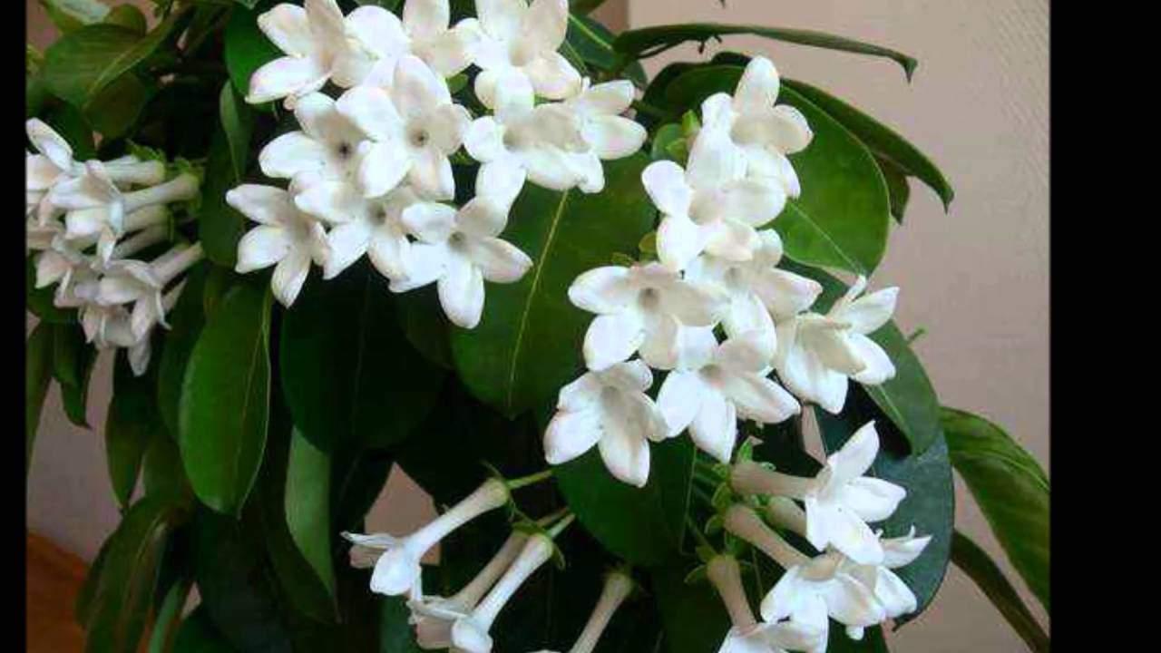Описание цветка жасмин домашний — уход и методы размножения