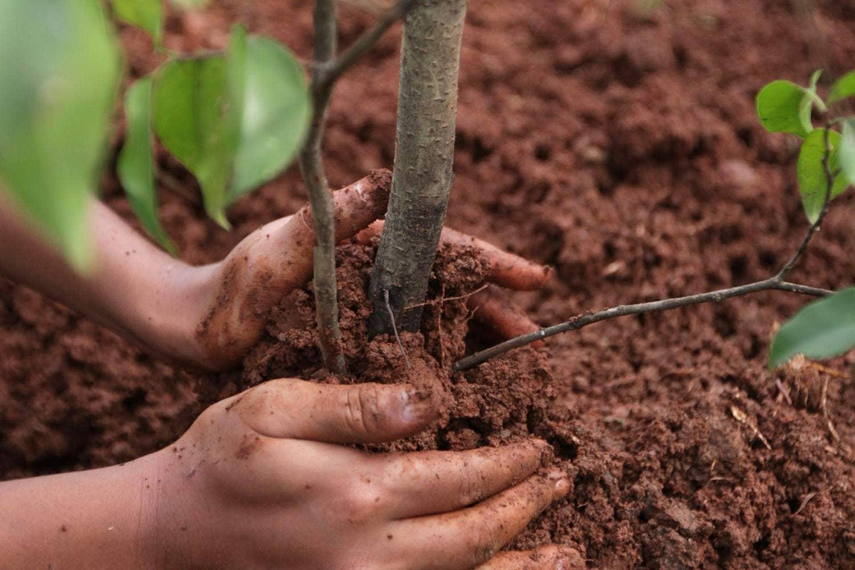 Картинки по запросу здоровые корни плодового дерева