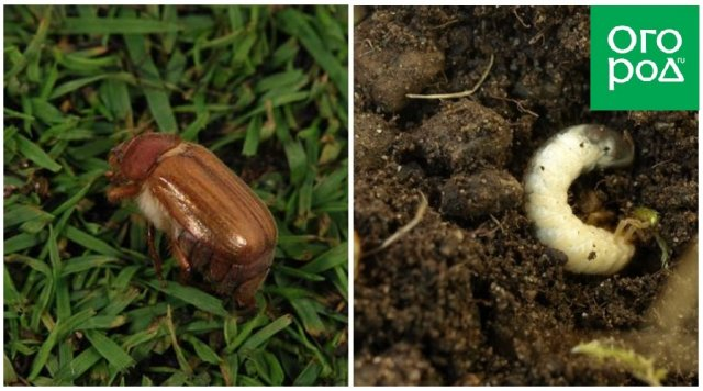 Майский жук и его личинки