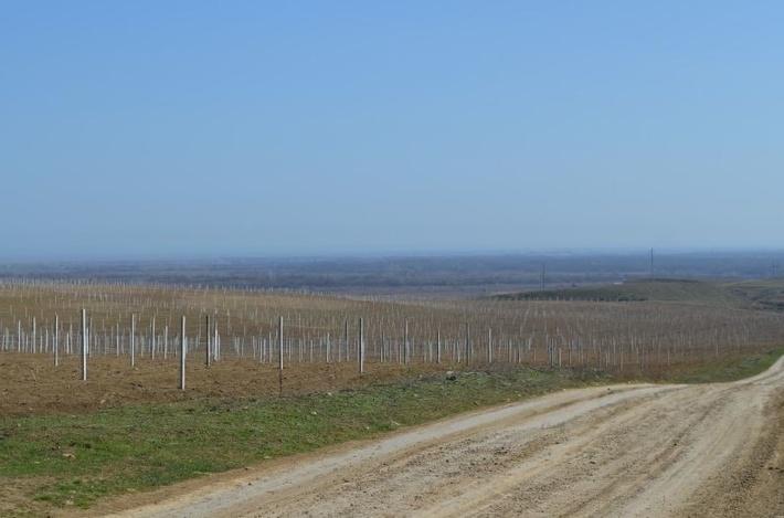 В республике Дагестан активно ведутся работы по закладке новых виноградников