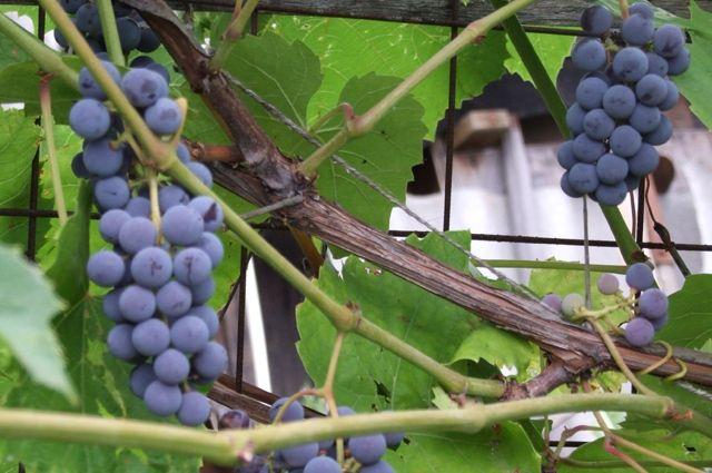Вся сила винограда в сорте. Выращиваем южную ягоду в средней полосе
