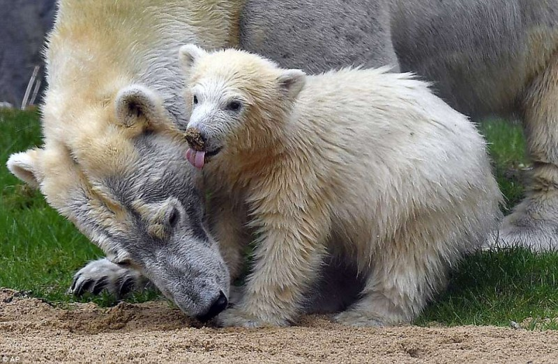 Белый медвежонок Нанук и его большая мама