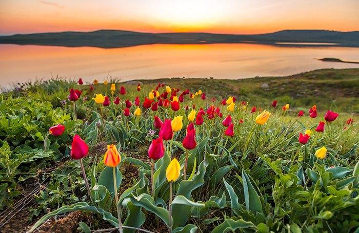 Дикие тюльпаны в Крыму. Автор фото: Сергей Анашкевич